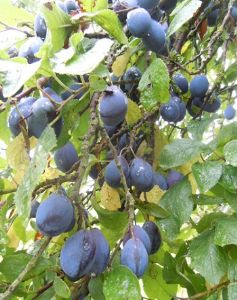 Damsons, from Herefordshire: Frozen , sold per kg